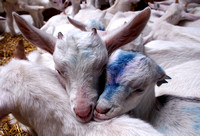 Young whit goats sleeping together