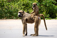 Baboons riding