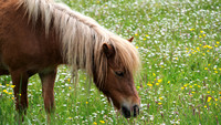 Pony in a fied of buttercups & daisies