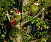Red - crested turaco