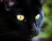 Beatiful black cat