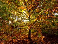 Sunlight troug autumn leafs