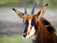 Young Sable antelope